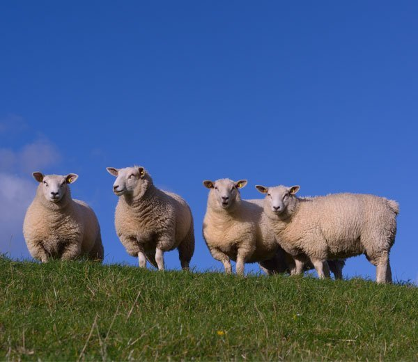 buy lamb shanks